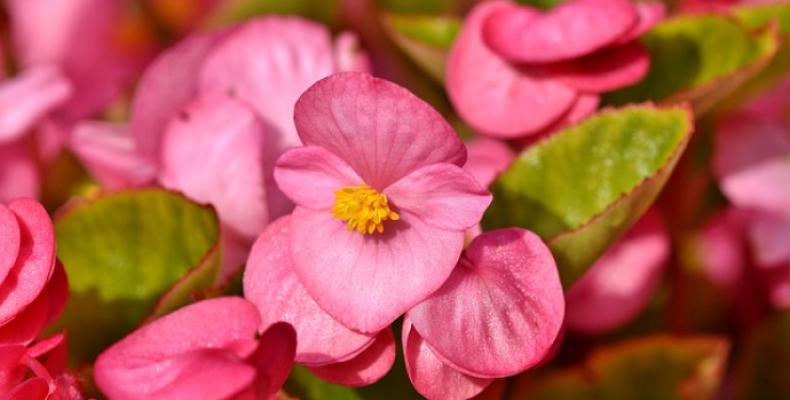 Kwiaty doniczkowe na balkon - begonia