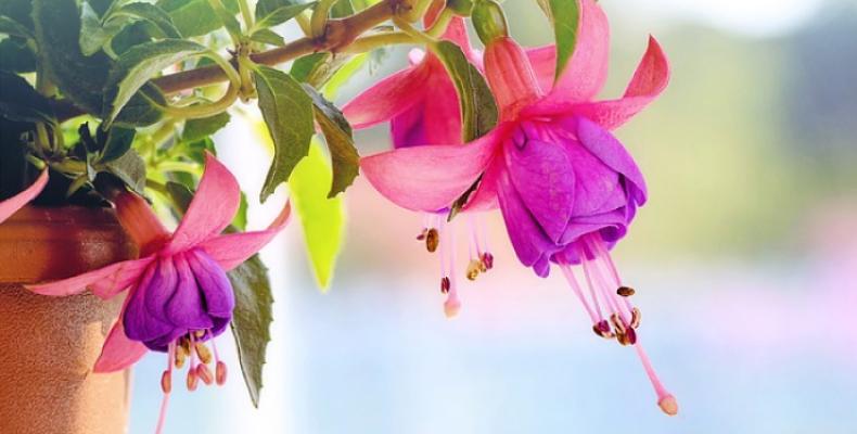 Kwiaty balkonowe wieloletnie - fuksja