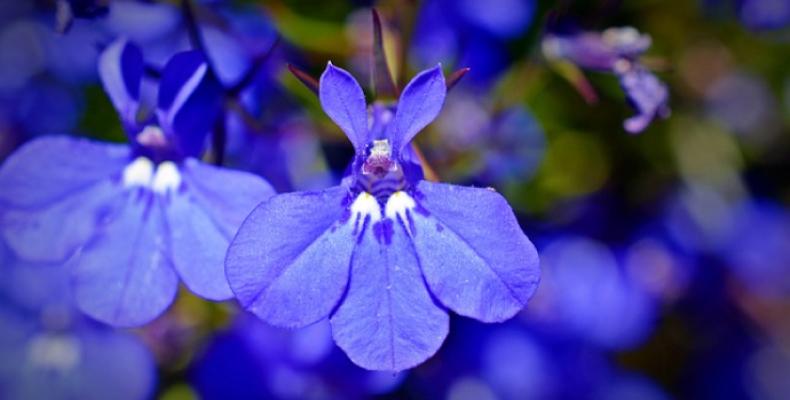 Kwiaty doniczkowe na taras - lobelia