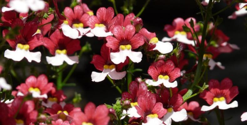 Nemezja - rośliny doniczkowe na balkon