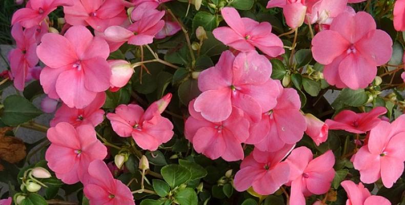 Kwiaty doniczkowe na balkon - niecierpek