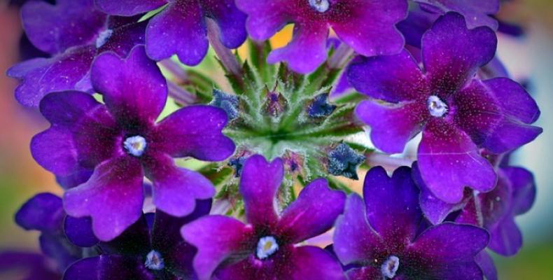 Kwiaty doniczkowe na balkon - werbena