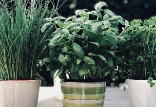 Zioła przyprawowe, czyli parapetowa zieleń w kuchni