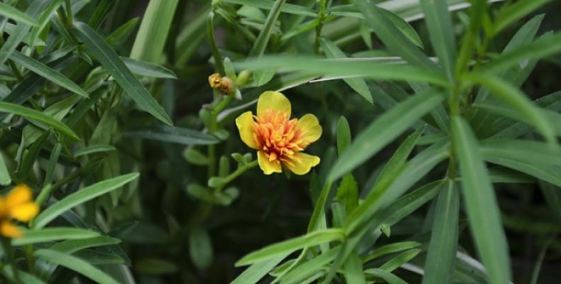 zioła przyprawowe - estragon