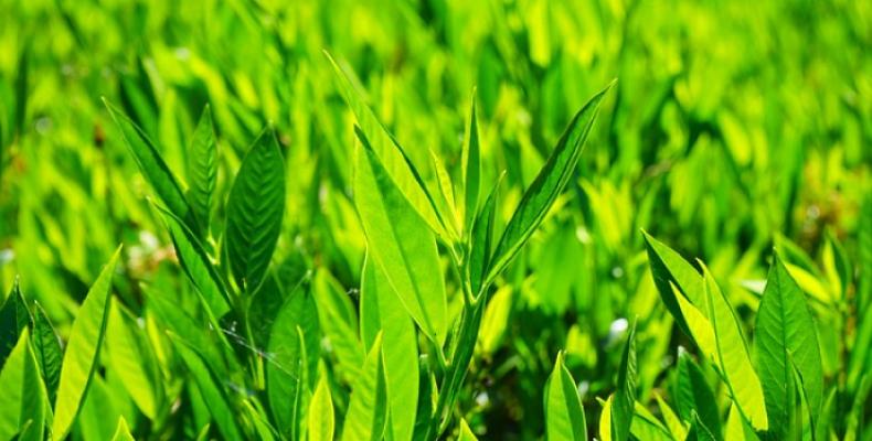 zioła przyprawowe - liść laurowy