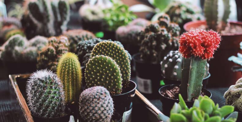 Kaktusy domowe - rośliny dla zabieganych