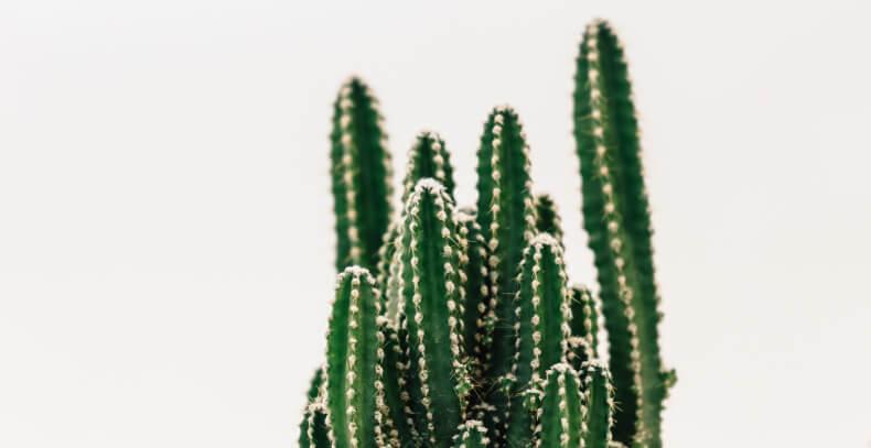 Odmiany kaktusów