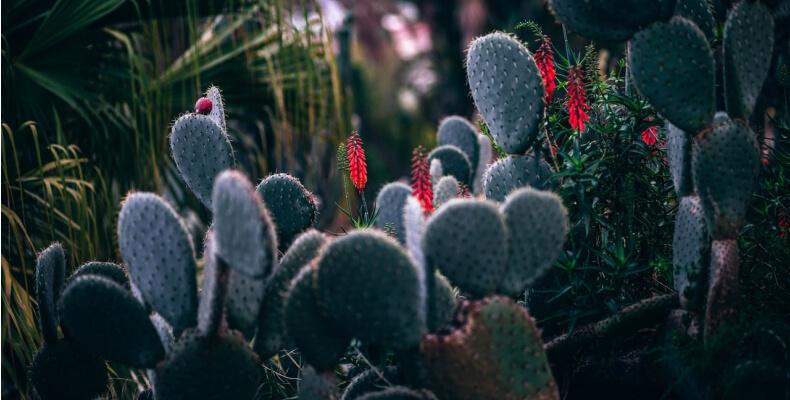 Opuncja - odmiany kaktusów