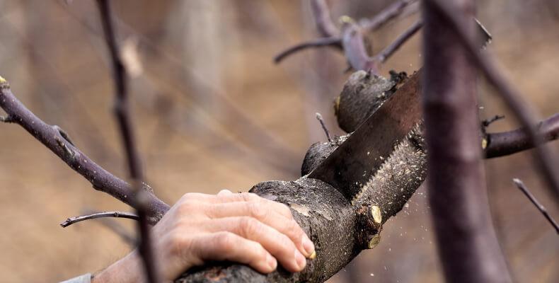 kiedy przycinać drzewa?