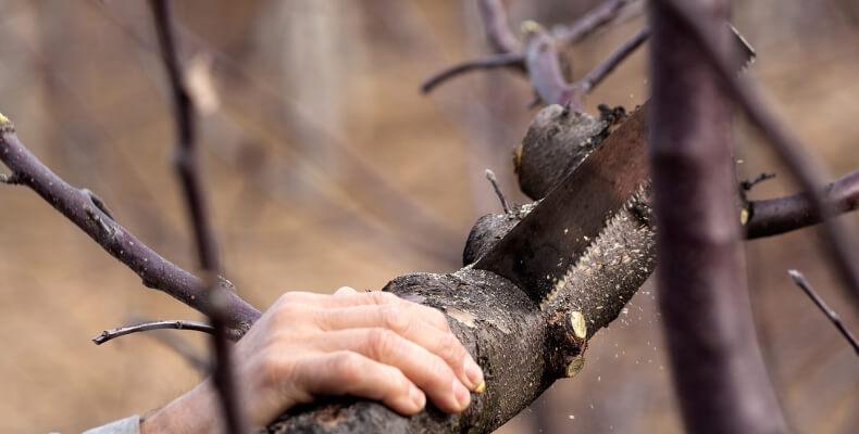 jak przycinać krzewy?