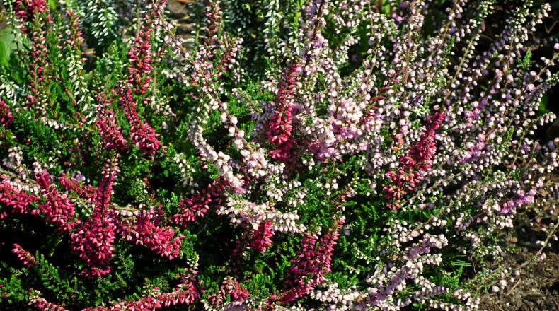 Jesienne kwiaty na balkon - wrzosy
