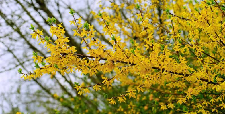 Jakie krzewy do ogrodu - forsycja