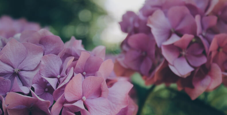 Hortensja bukietowa - krzewy do ogrodu
