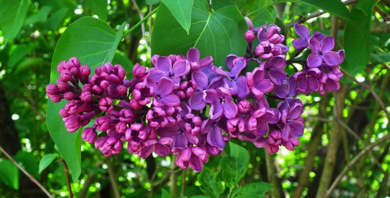 Lilak, bez - ozdobne rośliny