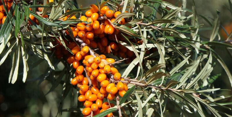 Rokitnik - jakie krzewy do ogrodu wybrać