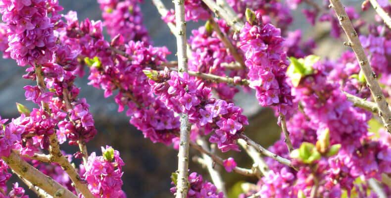 Wawrzynek wilczełyko - jakie krzewy do ogrodu