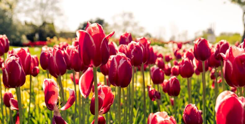 Najpiękniejsze kwiaty ogrodowe - tulipany